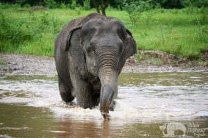 elephant wades through the river at ethical elephant sanctuary near Chiang Mai in Thailand