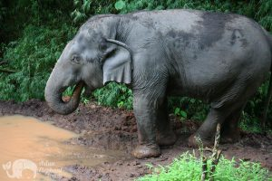 elephant drinking at ethical elephant sanctuary near Chiang Mai in Thailand