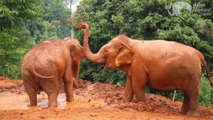 elelephants playing in the mud