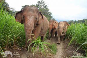 herd of elephants walking at ethical elephant sanctuary