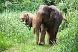 Thai elephants in the rainy season