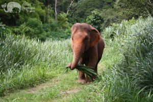 Elephant munches on grass