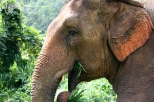 Beautiful Thai elephant