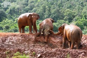 elephants play in the mud Thailand