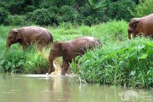 Thai elephants in river