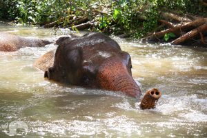 Thai elephants enjoys a swim in the the stream