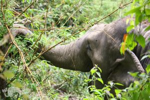 Elephant eats bamboo in forest