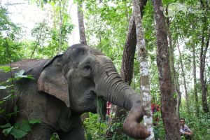 Elephant forages in the jungle at Asian Elephant Projects