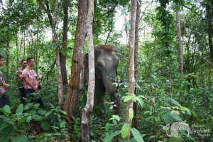Elephant roaming the forest near Chiang Mai