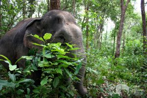 Elephant forages in the forest Thailand