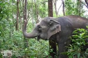 Happy elephant forages in the forest Thailand