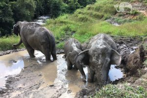 elephants play in the mud in Thailand