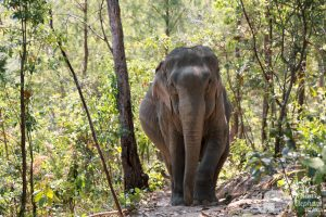 elephants wanders the forest at ethical elephant tour