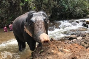 Elephant cools of in the stream at Asian Elephant Projects