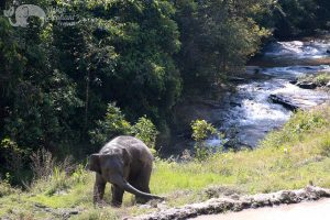 elephant roams freely at Asian Elephant Projects