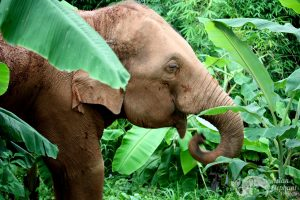elephant_foraging_forest