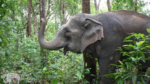 Elephant strips bark from tree in the forest