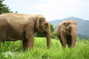 elephants_grazing_mountain