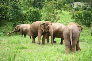 Thai elephants socializing