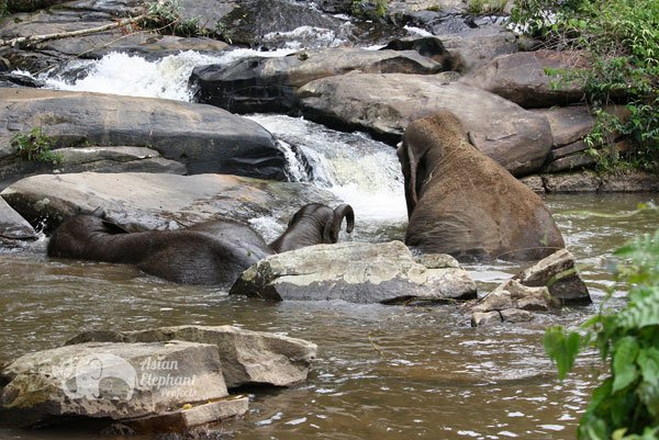 elephants bathing in stream