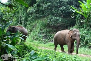 Thai elephants in jungle