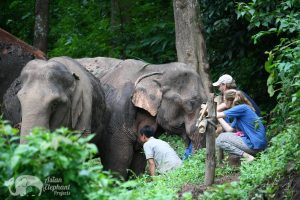 observing Thai elephants