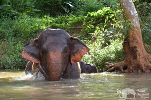 elpehant takes a swim thailand
