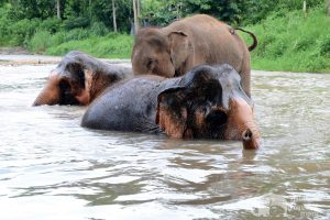 elephant family swims in river at elephant tour thailand