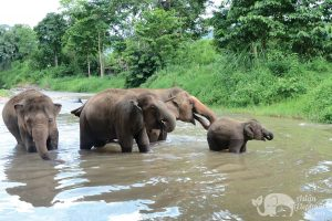 Elephant herd in the river at ethical elephant tour