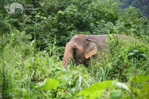 elephant foraging