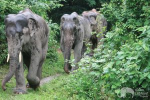 Herd at Asian Elephant Projects