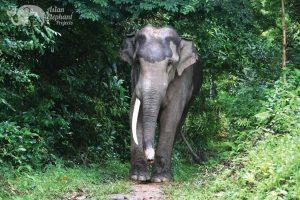 Thai bull elephant