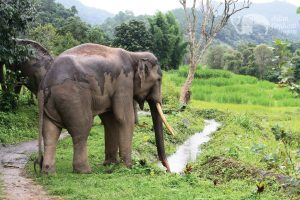 elephant roaming freely in Chiang Mai