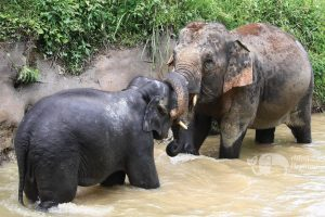Elephants playing in the water at ethical elephant tour