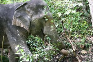 elephant foraging in the jungle