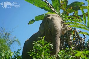 magnificent thai elephant at Elephant Green Hill