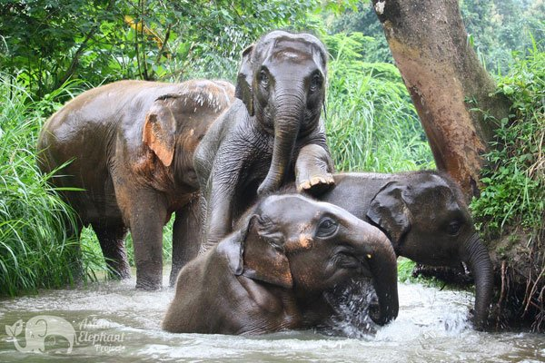 Elephants playing in the stream Elephant Trails