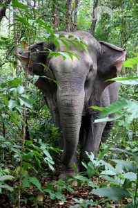 elephant roams the jungle at elephant sanctuary chiang mai