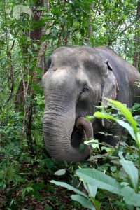 elpehant foraging in the jungle at elephant sanctuary in Thailand