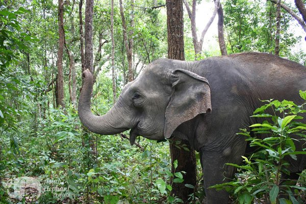 elephant foraging in the jungle at elephant sanctuary Thailand