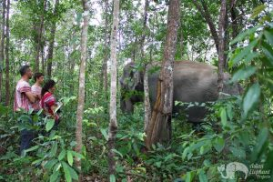 watching elephant forage at chiang mai elephant tour