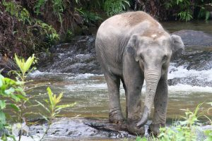 rescued elephant relaxes by the river at elephant sanctuary