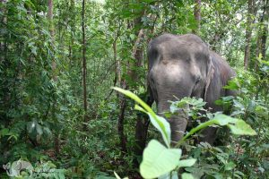 thai elephant forages in the jungle at elephant sanctuary