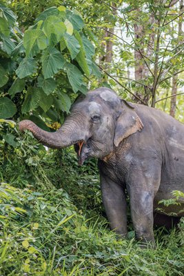 Pkuket_Elephant_Sanctuary