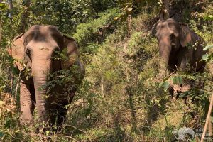 elephant pride elephant wellness asian elephant projects elephant sanctuary chiang mai