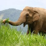 elephants grazing at elephant sanctuary Thailand
