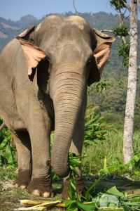 Asian Elephant Projects - Elephant Wellness