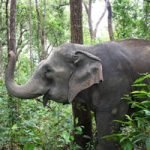 Thai elephant foraging at elephant sanctuary Thailand