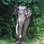 Bull elephant in the forest at elephant sanctuary Thailand