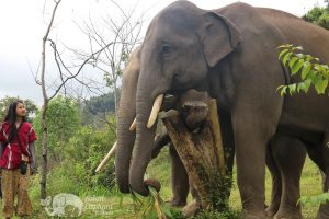 elephant sanctuary near chiang mai thailand